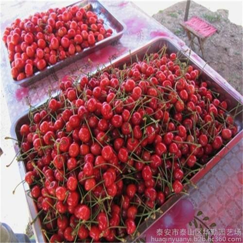 新鲜水果先锋大樱桃车厘子香甜多汁礼品水果-- 泰安市泰山区华勤园艺场