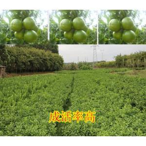 广西附近哪里有皇帝柑苗大量批发