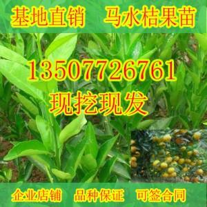 广西哪里有马水橘果苗销售
