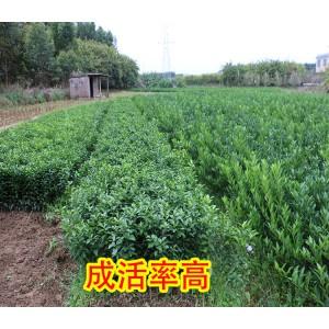 哪里有广西沃柑苗出售