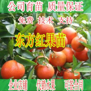 武宣哪里有柑橘新品种东方红苗销售