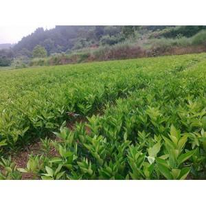 贵州脐橙苗木出售&贵州脐橙苗木价格多少&贵州供应大量脐橙苗木
