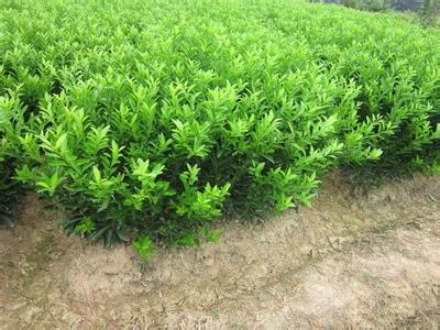 福建哪里有鹿寨无核蜜橙苗买-- 柳州市鑫鑫农业科技有限公司