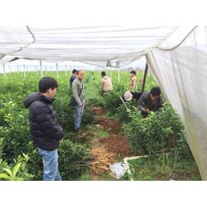 铜仁哪里有柑桔新品种苗销售