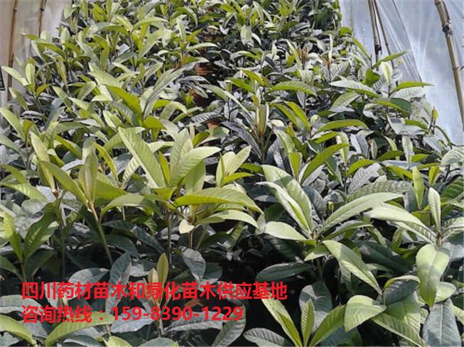 枇杷苗批发价格/枇杷苗种植基地/枇杷苗-- 文仪园林绿化