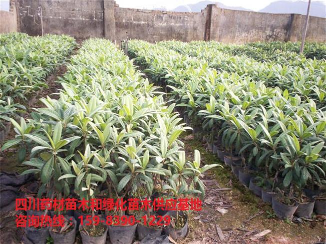 枇杷苗供应商/枇杷苗种植基地/枇杷苗-- 文仪园林绿化