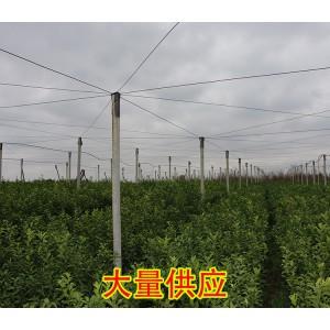 贵州哪里有特早柑橘苗出售