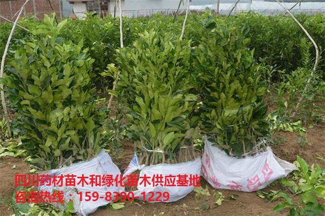 柚子苗/红心蜜柚苗木/红心蜜柚苗-- 文仪园林绿化