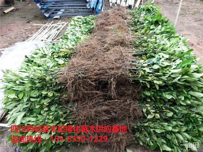 柚子苗/红心柚子苗/红肉蜜柚苗木-- 文仪园林绿化
