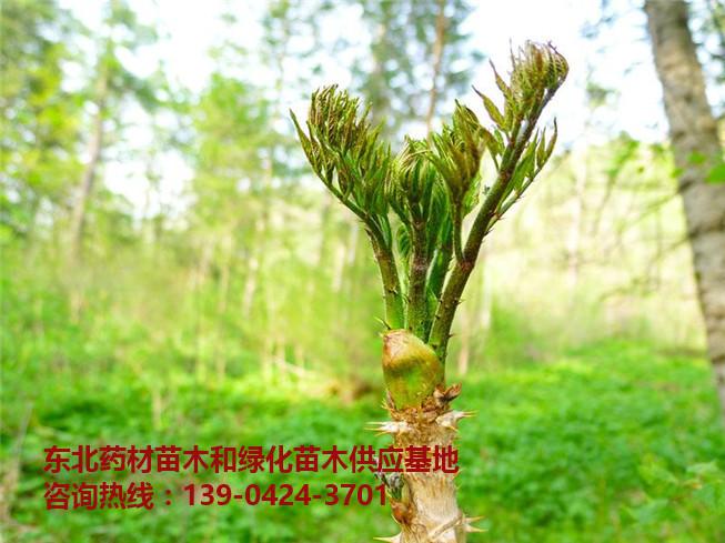 刺嫩芽苗出售批发价格~刺嫩芽树苗供应基地~东北刺嫩芽苗出售-- 桓仁吉国苗圃