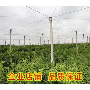 福建无核蜜橙苗价格多少钱