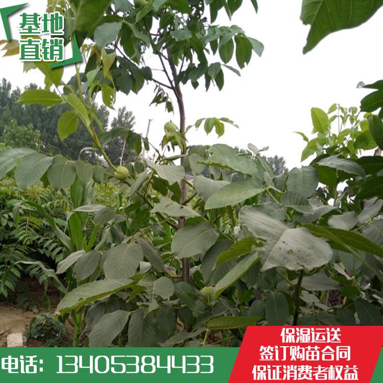 核桃苗品种纯价格低*核桃苗价-- 泰安开发区林泽园艺场
