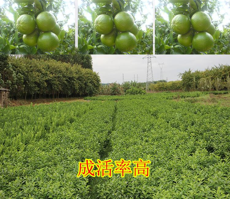 黔南附近哪里有皇帝柑苗网上销售-- 柳州市绿盛农业科技有限公司