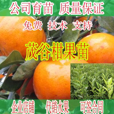 楚雄州哪里有茂谷柑苗批发基地-- 柳州市绿盛农业科技有限公司