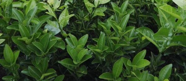 黔南哪里有少核默科特苗买-- 柳州市绿盛农业科技有限公司