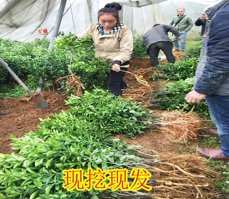 云南哪里有春甜桔二号果苗批发-- 柳州市鑫鑫农业科技有限公司