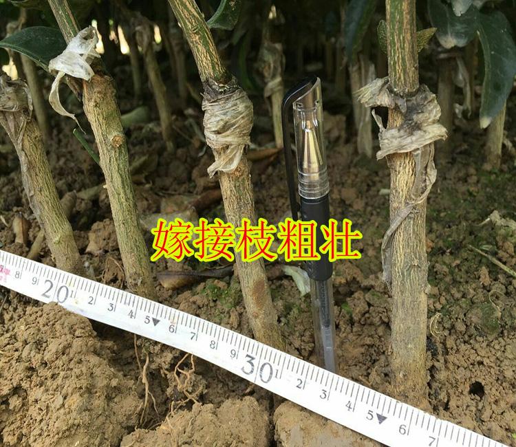 楚雄州哪里找到大量批发果苗网-- 柳州市鑫鑫农业科技有限公司