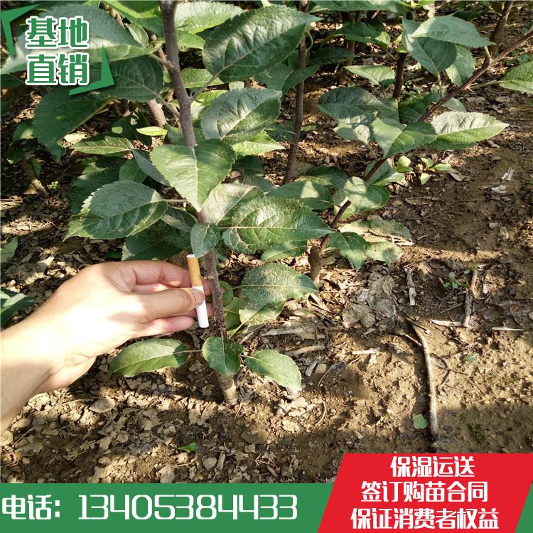 苹果苗 矮化苹果苗价格 矮化苹果苗基地哪里便宜-- 泰安开发区林泽园艺场