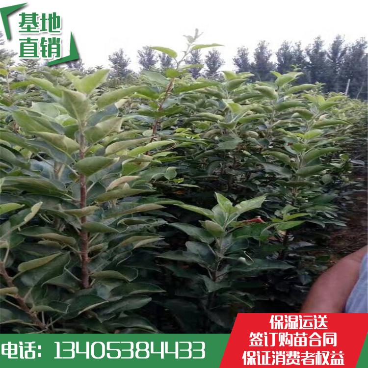 富士苹果苗 富士苹果苗价格 富士苹果苗基地哪里便宜-- 泰安开发区林泽园艺场