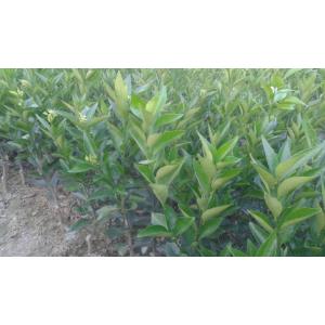 楚雄州哪里有柑橘苗批发基地
