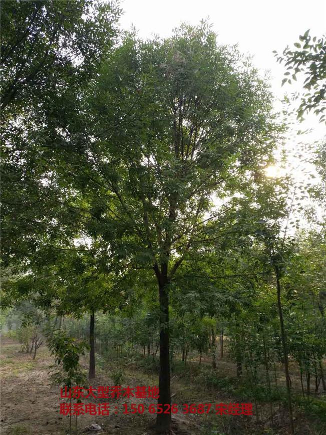 山东合欢树基地 山东合欢树价格 山东合欢树-- 山东白蜡树基地