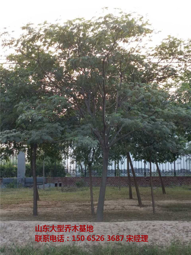 山东合欢树 合欢树价格 合欢树-- 山东白蜡树基地