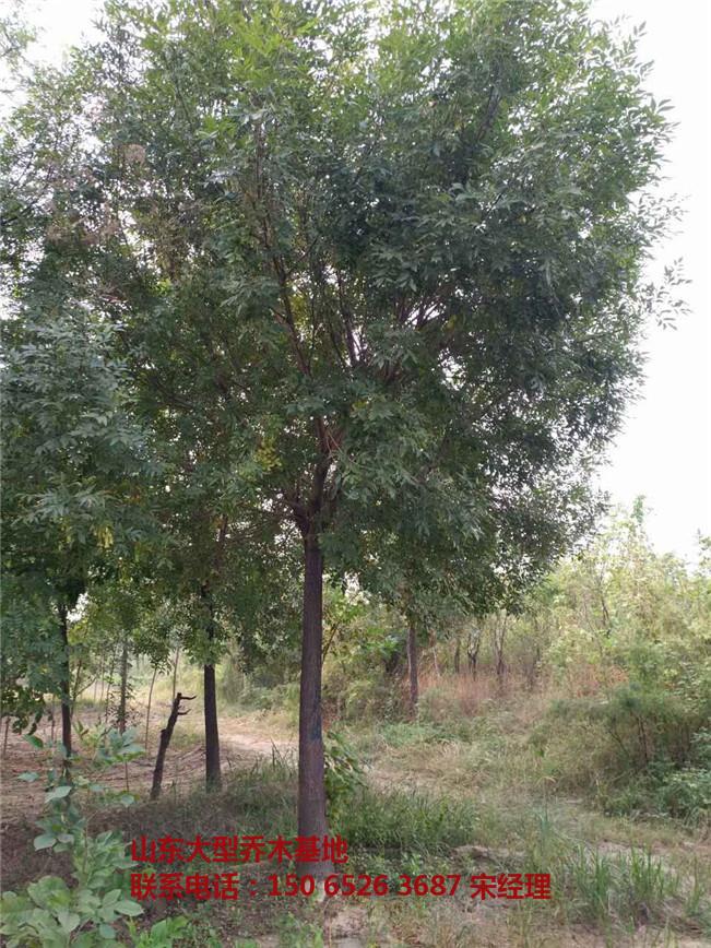山东合欢树价格 山东合欢树图片-- 山东白蜡树基地