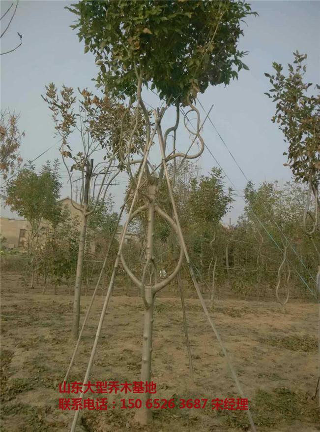 大型造型白蜡树基地,造型白蜡树出售,山东金叶造型白蜡,滨州速生造型白蜡-- 山东白蜡树基地