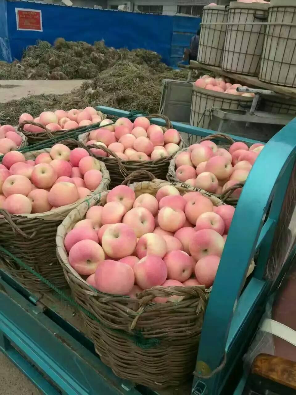 山东红富士苹果价格纸袋红富士-- 山东红富士苹果产地