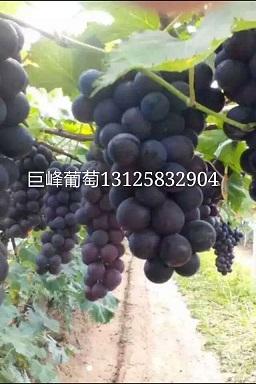 吉林巨峰葡萄苗|价格|巨峰葡萄苗促销中
