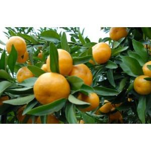 楚雄州柳州沃柑苗价格多少钱