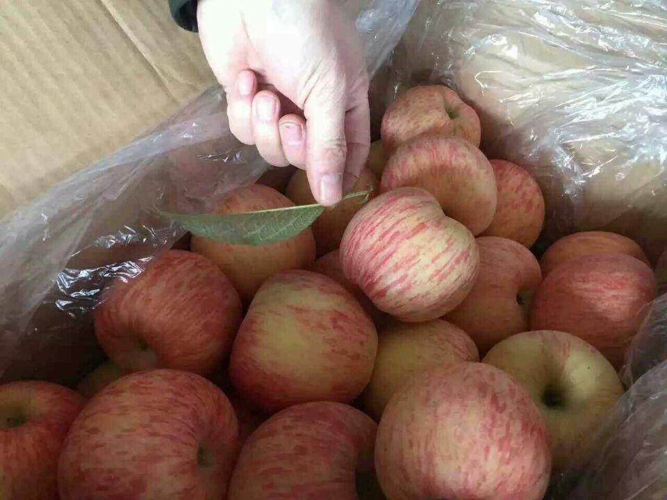山东苹果价格红富士苹果价格-- 山东红富士苹果产地