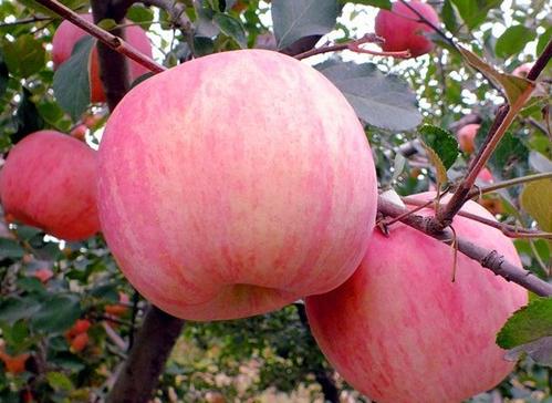 山东冷库苹果价格-- 山东红富士苹果产地