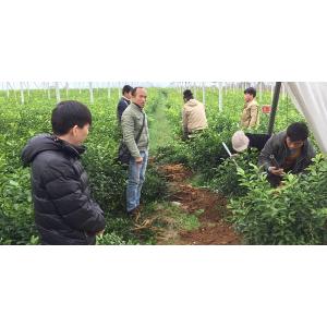 重庆网上大量柑橘苗供应在哪