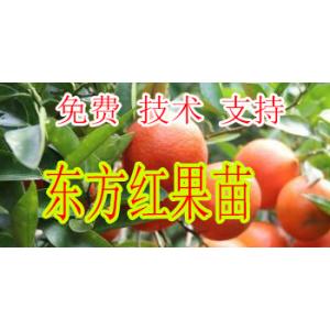 福州哪里有东方红橘苗卖