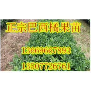 重庆哪里有巴西蜜桔苗供应