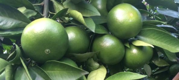 兴义哪里有青皮蜜桔苗批发-- 柳州市绿盛农业科技有限公司