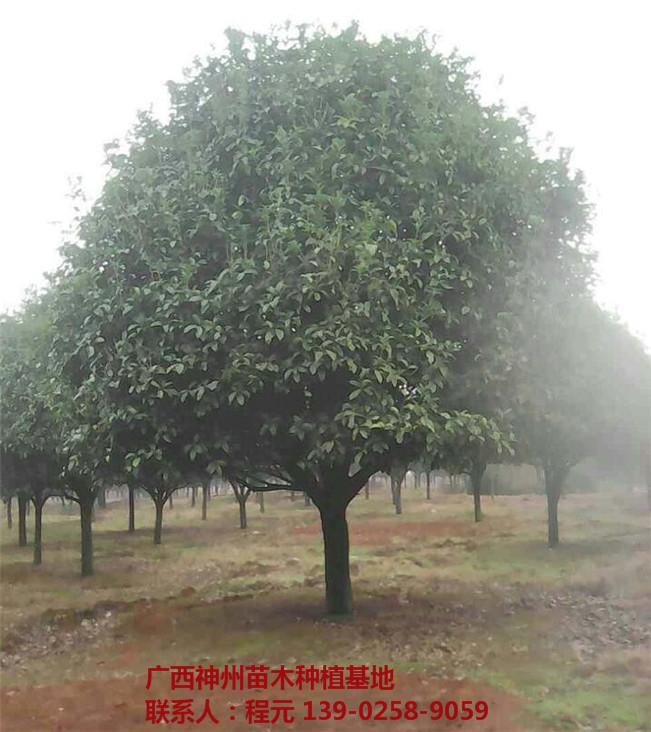 四川桂花树批发价格 四川桂花树供应基地-- 广西神州苗木种植基地