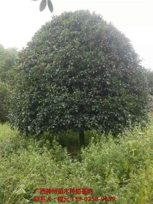 长沙桂花树批发价格 长沙桂花树供应基地-- 广西神州苗木种植基地