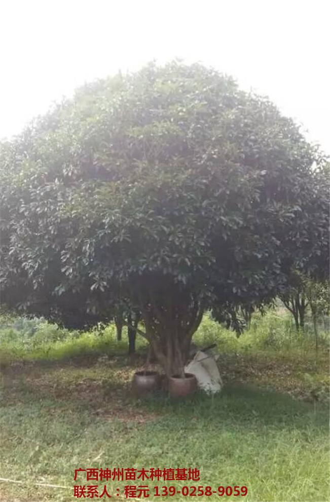 桂林桂花树供应基地 桂林桂花树批发价格