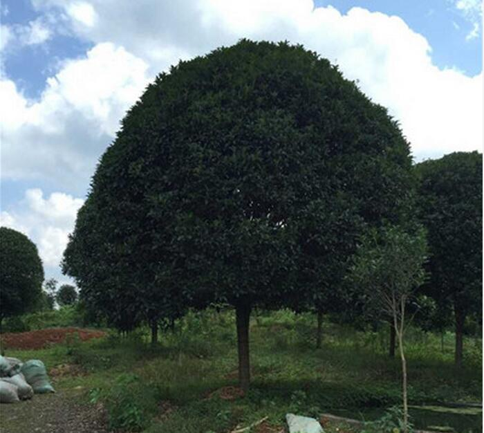 廣西桂花樹-- 廣西神州苗木種植基地