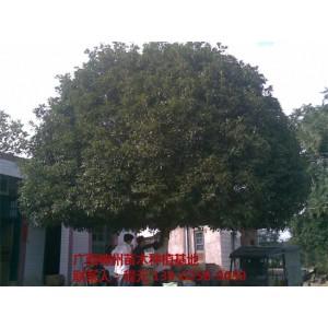 广西优质桂花树供应基地 广西优质桂