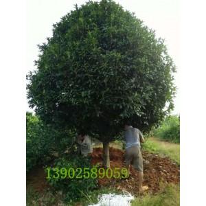 成都桂花树10公分12公分14公分