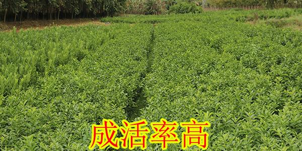 红河哪里有大量柑橘苗供应-- 柳州市绿盛农业科技有限公司
