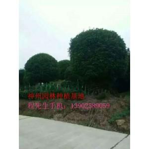 遵义桂花树18公分到24公分