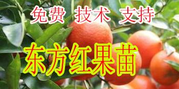 昭通哪里有柑橘新品种东方红苗批发-- 柳州市绿盛农业科技有限公司