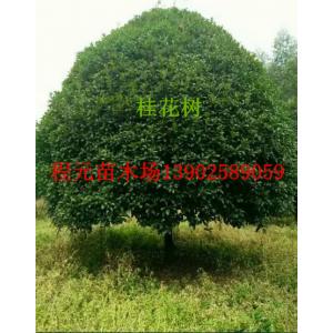 贵州凯里桂花树12公分14公分16公分18
