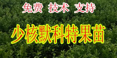 昭通哪里有少核默科特苗出售-- 柳州市绿盛农业科技有限公司