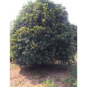桂林桂花树12公分14公分16公分18公分
