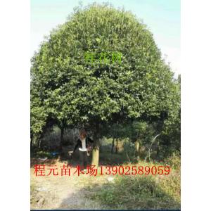 供应广西桂花树10公分12公分14公分16